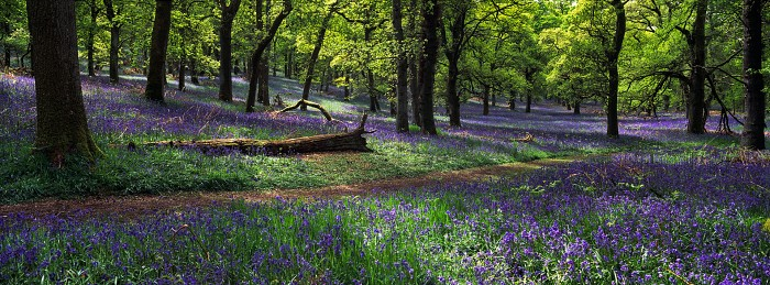 Bluebell Wood. Kinclaven Wood, Perthshire. Hasselblad XPan 45mm. May 2016.